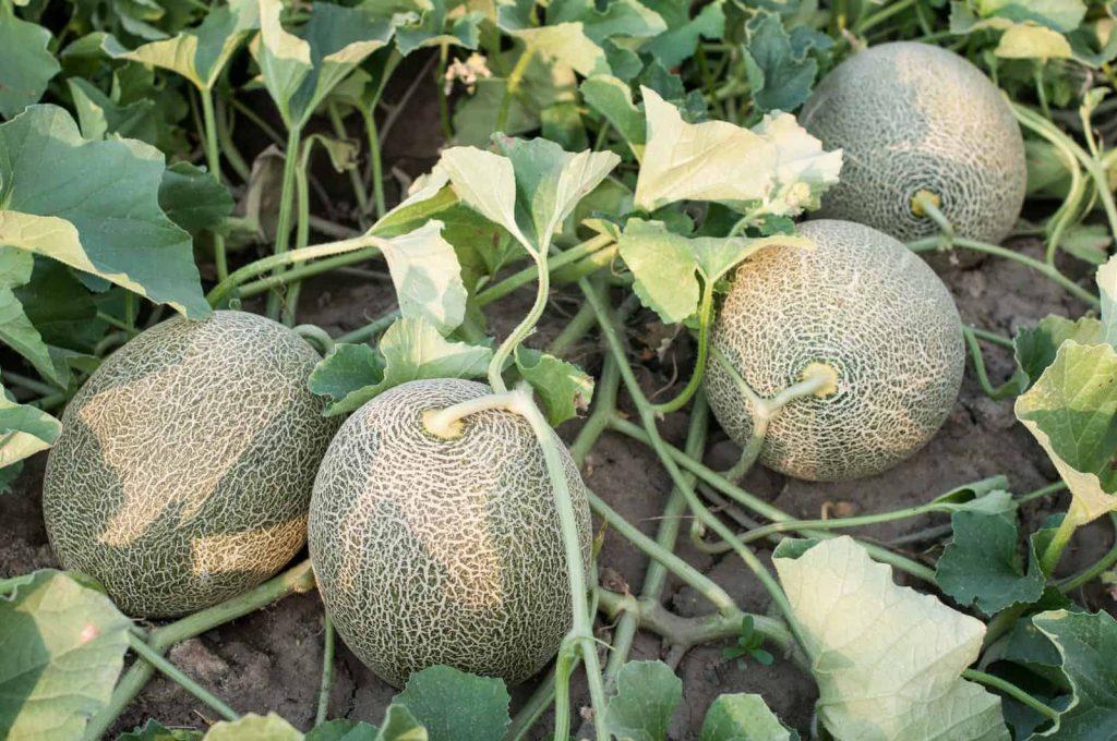 Cara Menanam Melon Anti Ribet agar Mudah Dipraktikkan