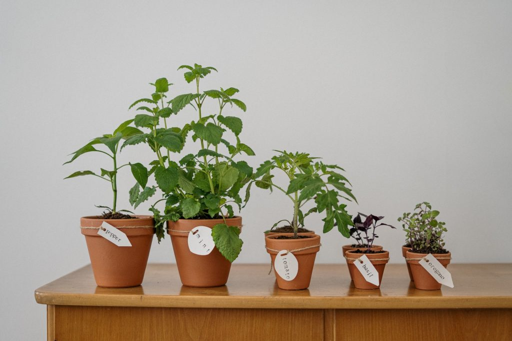 Intip Cara Menanam Tomat di Pot dari Biji dan Batang