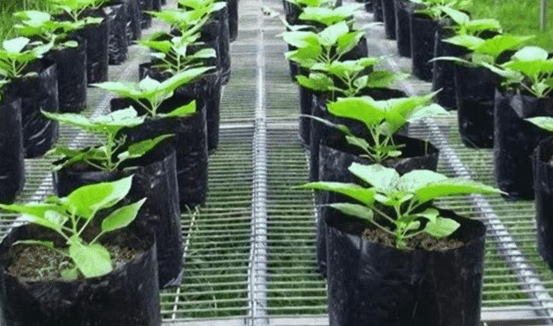Cara menanam Cabe di Polybag untuk Aktivitas Berkebun yang Praktis